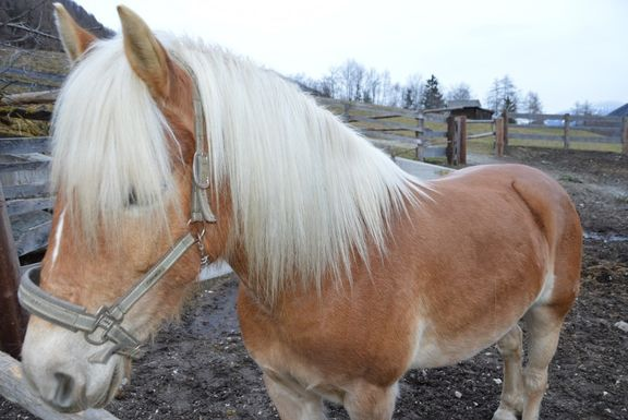 Pony, Omesberger Hof in Neustift – a holiday in the Stubai Valley in Tyrol