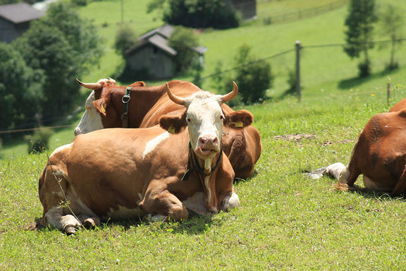 Cows, Omesberger Hof in Neustift – a holiday in the Stubai Valley in Tyrol