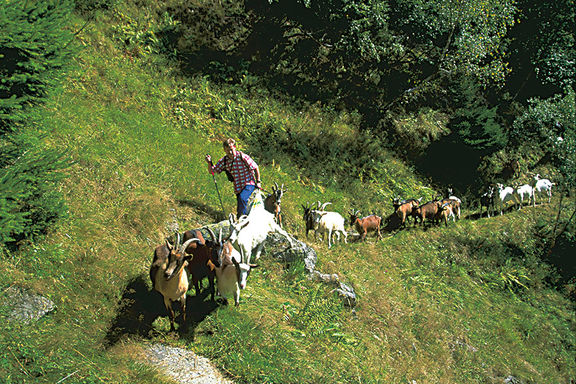Goat, Omesberger Hof in Neustift – a holiday in the Stubai Valley in Tyrol